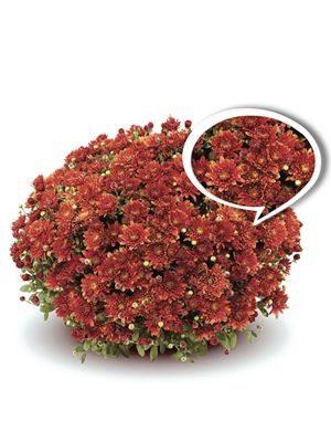 Хризантема срезочная Blenda Purple (9 шт) - 1