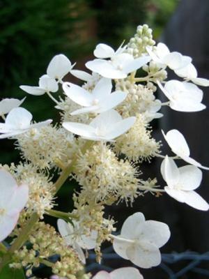 Гортензия метельчатая Kyushu (1 шт) - 1