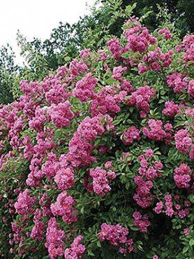 Роза в'юнка Wartburg (1 шт)