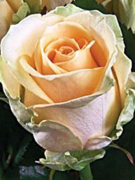 Роза чайно-гибридная Peach Avalanche (1 шт)