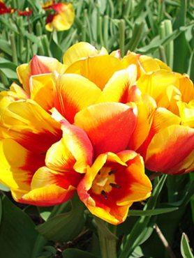 Тюльпани Багатоквіткові Syracuse 1112 (3 шт)