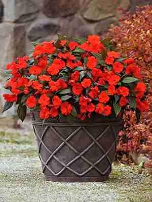 Бальзамин новогвинейский Divine Orange Bronze Leaf, темно-оранжевый (5 шт) - 1
