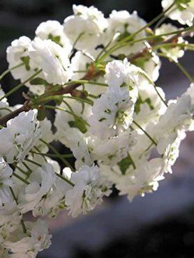 Спирея сливолистная ф. махровая (1 шт)
