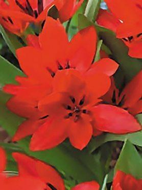 Тюльпани ботанічні чудові Van Tubergen's Variety 89 (20 шт)