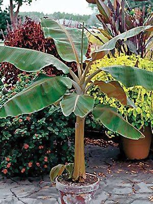 Банан карликовий Cavendish (1 шт) - 1
