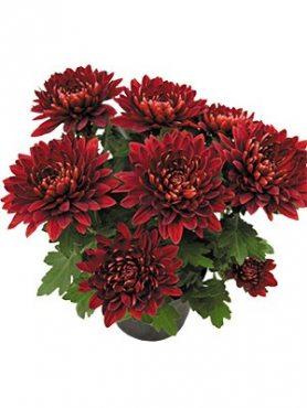 Хризантема горщикова Vido Red (9 шт)