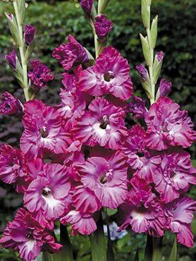 Гладиолус садовый Nablus Frizzle 1214 (20 шт)