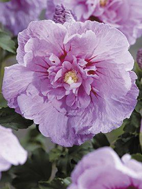 Гибискус сирийский Lavender Chiffon (1 шт)