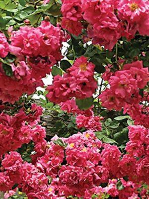 Роза плетистая Chaplin's Pink (1 шт) - 1