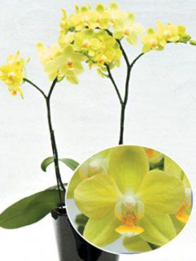 Фаленопсис гибридный Taida Smile (1 шт)