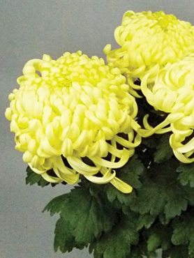 Хризантема срезочная Vienna Cream (3 шт)