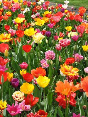 Тюльпани, суміш всіх класів (100 шт)