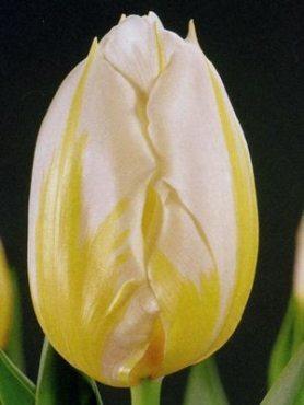 Тюльпаны Простые ранние Flaming Coquette 1112 (100 шт)