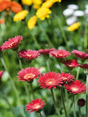 Гербера гибридная (садовая) Garvinea Fleurie (1 шт) - 1