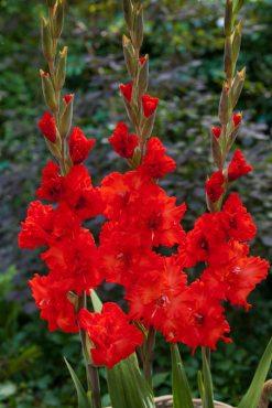 Гладіолус садовий Fire Cracker 1214 (5 шт)