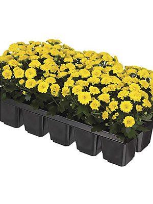 Хризантема дрібноквіткова низькоросла Baby Mum Yellow imp. (9 шт) - 1