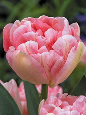 Тюльпаны Махровые поздние Finola 1011 (3 шт)