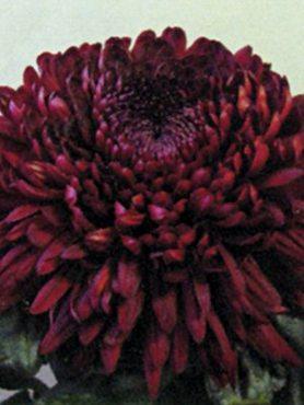 Хризантема срезочная Jalta Red (3 шт)