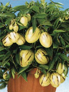Пепино (дынная груша) (5 шт)