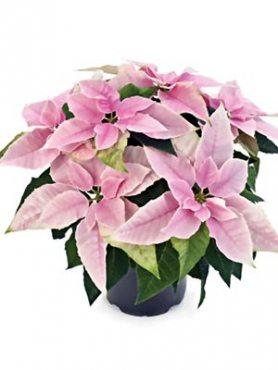 Пуансеттия прекрасная Princettia Pink (1 шт)