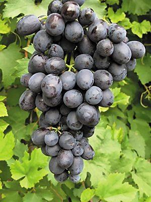 Виноград Таврія (1 шт) - 1