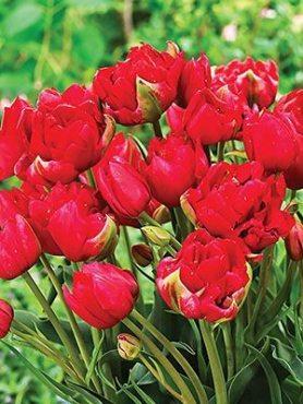 Тюльпаны Махровые ранние Estatic 1011 (100 шт)