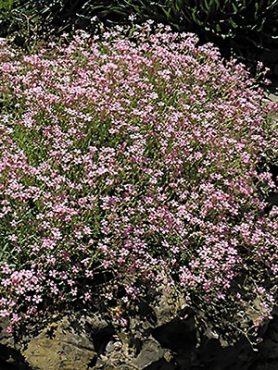 Гіпсофіла витончена Karminrosa, рожева (0,5 г)