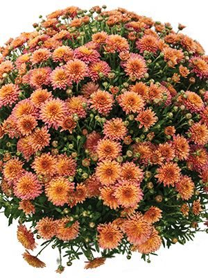 Хризантема мелкоцветковая низкорослая Branfruit (3 шт) - 1