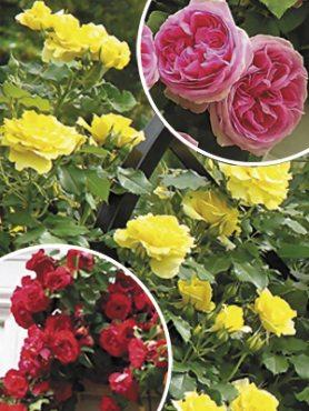 """Набор """"Версаль"""", смесь плетистых роз(3 шт)"""