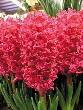 Гиацинт садовый Scarlet Pearl 1516 (20 шт)