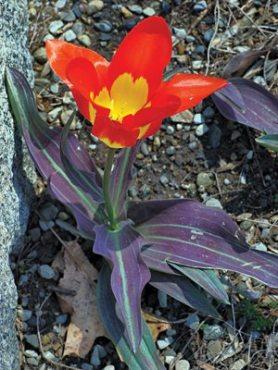 Тюльпаны Фостера Juan 1011 (3 шт)