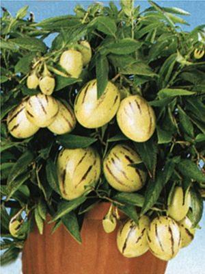 Пепино (дынная груша) (5 шт) - 1