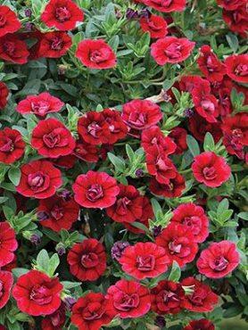 Калибрахоа Double Dark Red (1 шт)