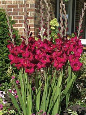Гладіолус садовий Plum Tart 1416 (5 шт)