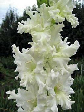 Гладиолус садовый Snowy 1214 (20 шт)