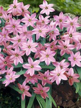 Ифейон одноцветковый Charlotte Bishop 4+ (5 шт)