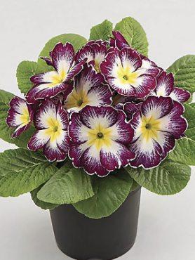Примула обыкновенная Aurela Purple F1 (3 шт)