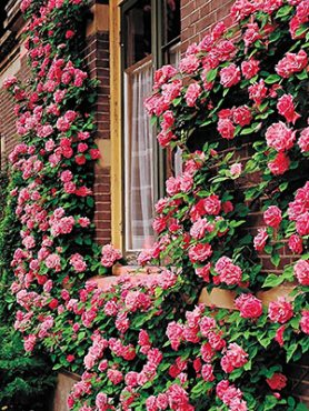 Роза в'юнка Pink Beauty (1 шт)