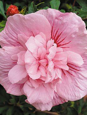 Гибискус сирийский Pink Chiffon (1 шт)