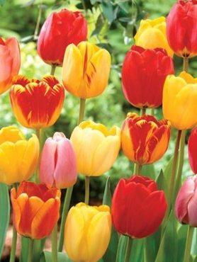 Тюльпаны Дарвиновы гибр. смесь 1112+ (50 шт)