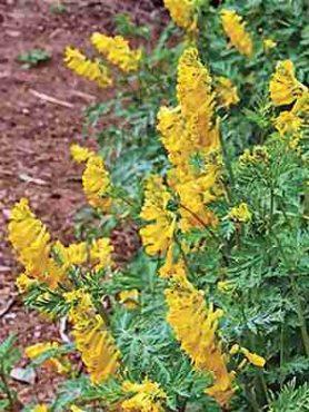 Хохлатка змееплодная, кремово-желтая с красным (10 шт)