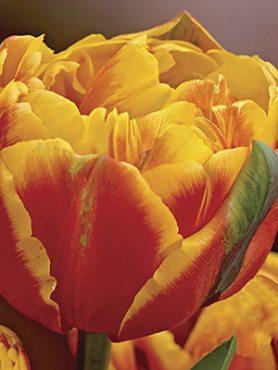 Тюльпаны Махровые поздние Givenchy 1011 (3 шт)