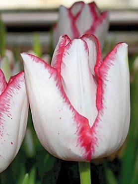 Тюльпаны Триумф Beauty Trend 1112 (3 шт)