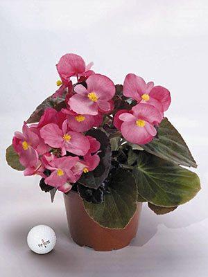 Бегонія гібридна Big Bronze Rose (3 шт) - 1