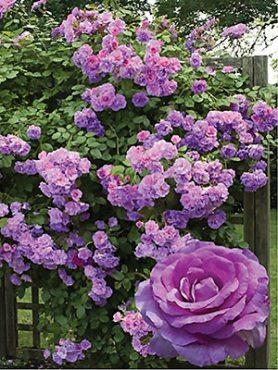 Роза плетистая Violette Parfumee Climbing(1 шт)