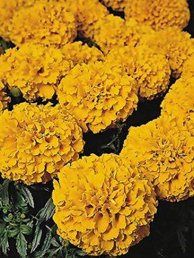 Чорнобривці прямостоячі Discovery Orange (6 шт)