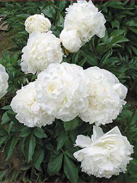 Пион молочноцветковый Marie Lemoine (1 шт)