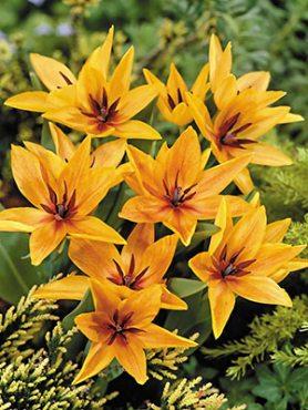 Тюльпан ботанічний чудовий Shogun 89 (3 шт)