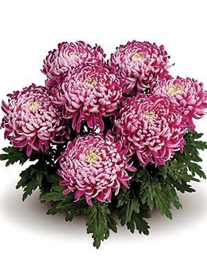Хризантема горшечная Trumpf Violett (9 шт) - 1