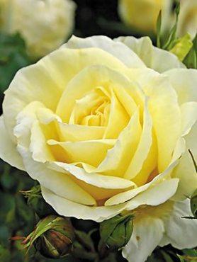 Роза чайно-гибридная Limona (1 шт)